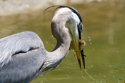 Great Blue Heron enjoying lunch.  That poor fish has such a look of despair.