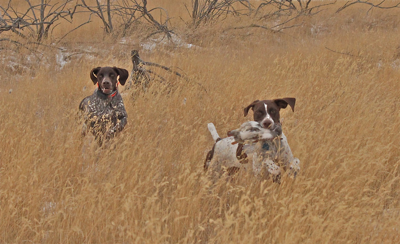 German Shorthair pointers