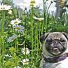 Summertime Pug