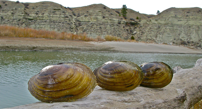 Mussels on the river.