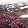 Loiseleuria procumbens, greplyng, Greplynghei i vårfjellet