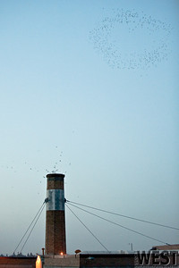 Vaux's Swifts circle above their chimney roost at Chapman Elementary.
