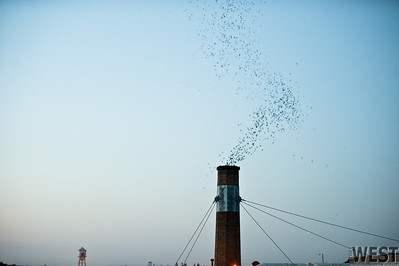Vaux's Swifts dive into their chimney roost at Chapman Elementary.