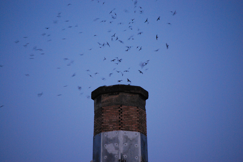 <b>Vaux Swifts</b>  Sept. 13, 2008<br><br> Once a year, a flock of thousands of Vaux Swifts come to visit Chapman Elementary School in Portland OR, swirling and flying into the chimney of the school nightly for a couple of weeks. Thousands of onlookers picnic and watch the swifts as they fly about.  During the peak of the swifts' annual migration from the Pacific Northwest to wintering grounds in Central America and Venezuela, an estimated 35,000 may roost together in the Chapman chimney, the largest known Vaux's swift roost in the world.