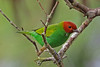 Bay-headed Tanager (Tangara gyrola)