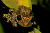 Marsupial frog, Gastrotheca sp.