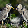 Juvenile Great Blue Herons