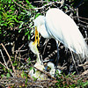 Great Egret feeding her chick