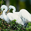 Great Egret couple on nest