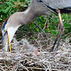 Great Blue Heron feeding her chicks