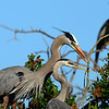 Great Blue Herons building nest