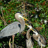 Great Blue Heron with juveniles