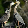 Great Blue Heron feeding her juvenile