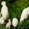 Great Egrets and chicks