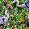 Great Blue Herons building their nest