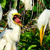 Great Egret chick yelling at me