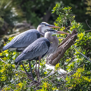 Great Blue Herons, mating pair