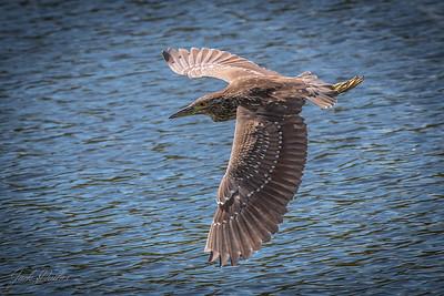 Black Crowned Night Heron, Juvinile, in flight