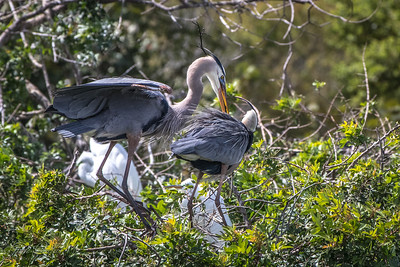 Great Blue Heron mating pair with mating plumage and coloring