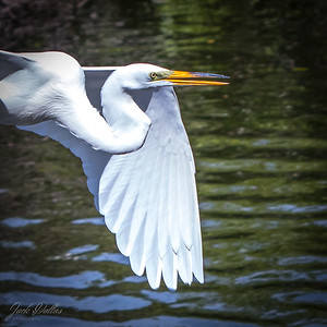 Great Egret in flight, Square format