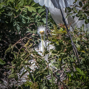 Great Egret chick in nest