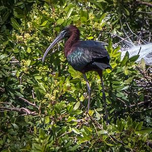 Glossy Ibis, Plegadis falcinellus