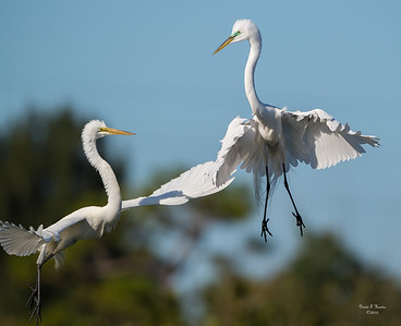 Levitating Egrets