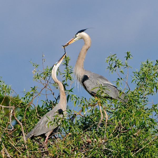 Great Blues Preparing a Nest