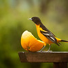 Orioles are back! (-shot thru window glass-)