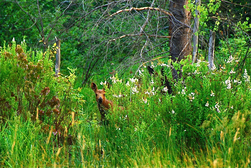 moose calf-mother close by with a watchful eye (to the right)