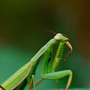 Praying Mantis preening antenna