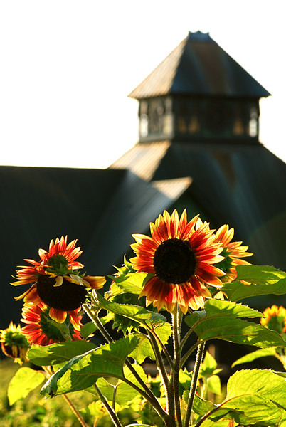 Sunflowers at Shelburne Farms