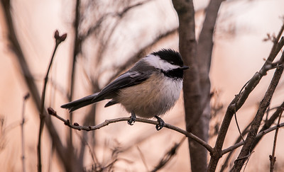 Chickadee in the brush