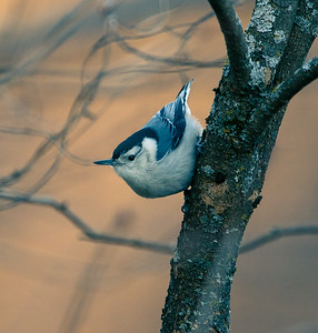 Nuthatch in the brush