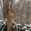 Cardinal in Vermont with snow dots