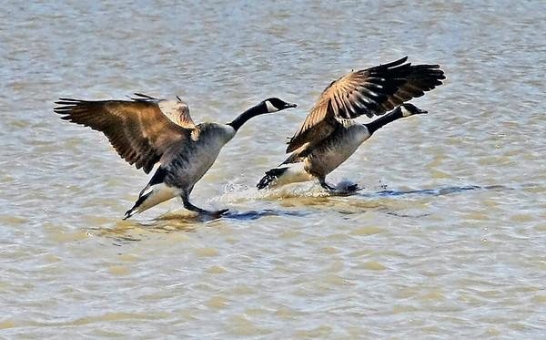 Canada Geese Dead Creek, Addison , VT
