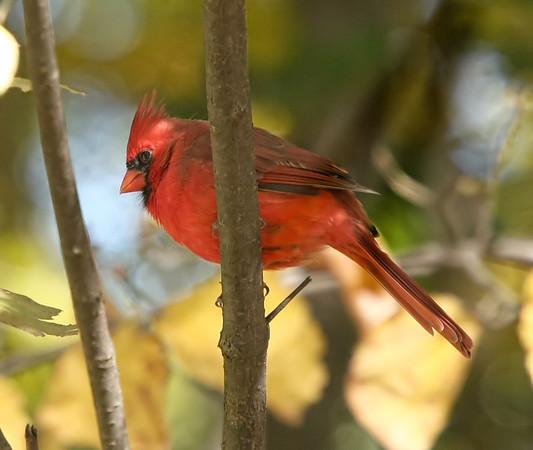 Sunlit Cardinal