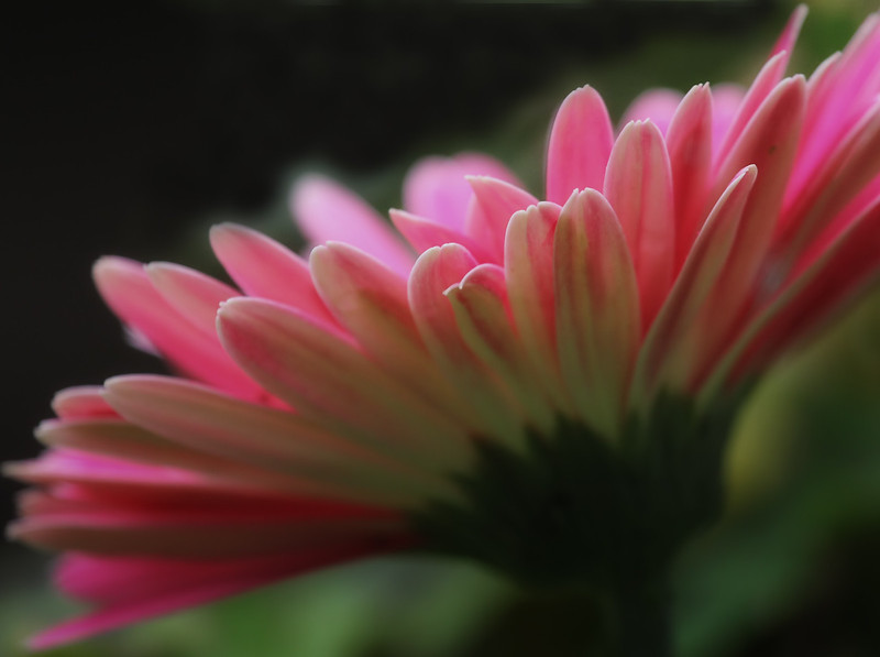 Another gerbera Daisy