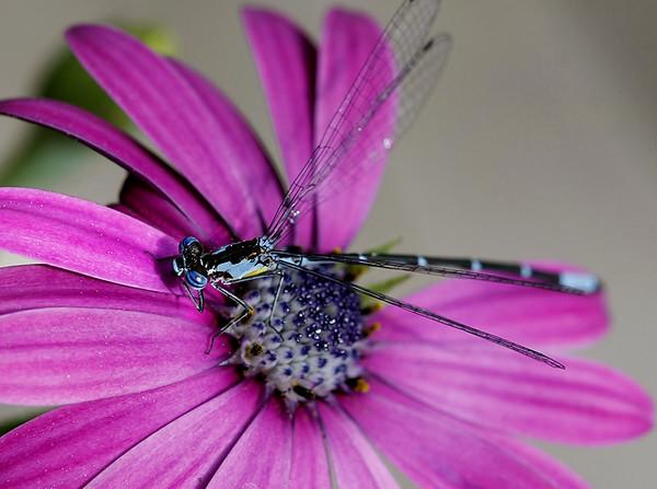 Blue Damsel on African daisy My garden /Middlebury VT
