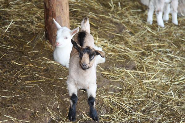 Wales Goat farm , Weybridge VT