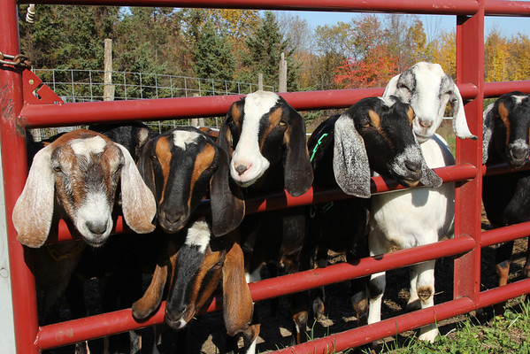 We're ready for our Close-up  Nubian Goats In Cornwall , VT  ( well known for their superior buttermilk )