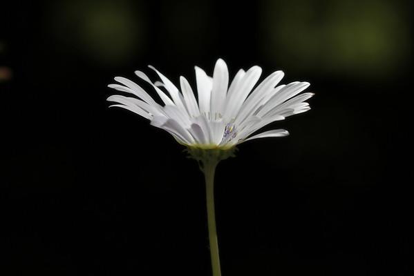 Glow  arctodis daisy from African daisy family