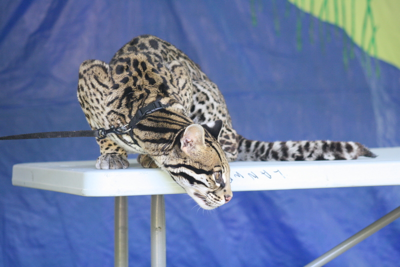 C.L. is a female ocelot.  She was born and bred in captivity but is still a wild animal.  Ocelots live eight to ten years in the wild and could live up to 20 years with good care in captivity.