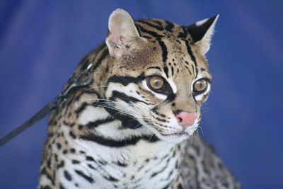 Close up shot of C.L., a 12 year old Ocelot from the Cincinnati Zoo.  Ocelots are very endangered.  Less than 50 are reported to live in the United States.