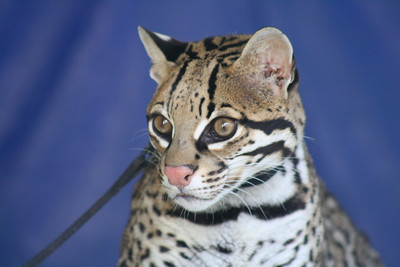 C.L. the ocelot looks back at the crowd during the ocelot show and tell sponsored by the Cincinnati Zoo.