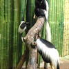 Black and White Colubus Monkeys,<br />  Maryland Zoo in Baltimore.