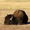 Bison rolling in the dust at Yellowstone