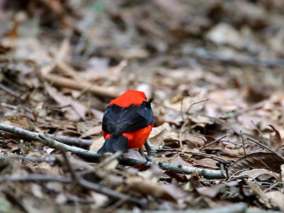 Scarlet Tanager with a caterpillar from Hocking Hills State Park