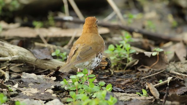 wood thrush foraging 2