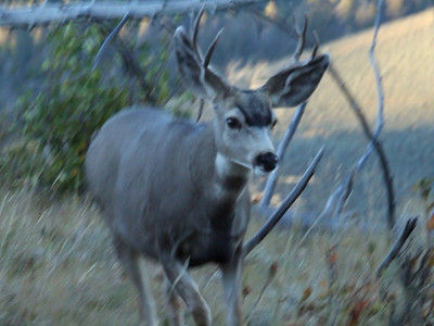 Mule deer at Yellowstone